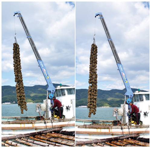 クレーンで吊り上げたら、左右に振って牡蠣竹についているかきを落としていく。