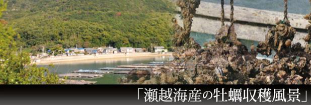 瀬越海産のカキ収穫風景